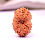 Seventeen Mukhi from Java Indonesia - Small - LIX