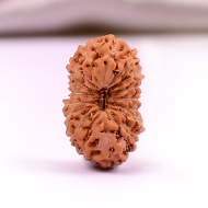 Seventeen Mukhi from Java Indonesia - Small - LXI