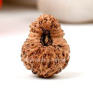 Sixteen Mukhi from Java Indonesia - Small