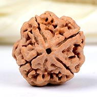 Super Collector Four Mukhi from Nepal - XVI