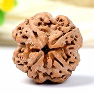 Super Collector Four Mukhi from Nepal - XVII