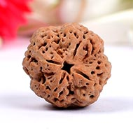 Super Collector Four Mukhi from Nepal - XXI
