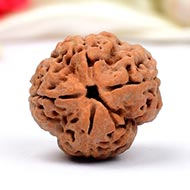 Super Collector Four Mukhi from Nepal - XXII