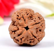 Super Collector Four Mukhi from Nepal - XXV