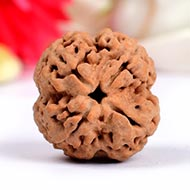 Super Collector Four Mukhi from Nepal - XXVIII