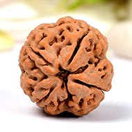 Super Collector Four Mukhi from Nepal -  XXXI