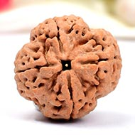 Super Collector Four Mukhi from Nepal - XXXVI