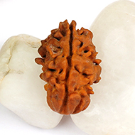 Super Collector One mukhi from Java Indonesia - CXVI