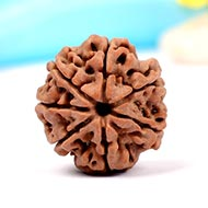 Super Collector Seven Mukhi from Nepal - CXXIV