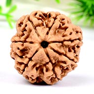 Super Collector Seven Mukhi from Nepal - XCIX