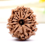 Twelve Mukhi from Nepal - Small - CL