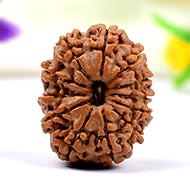Twelve Mukhi from Nepal - Small - CLXV