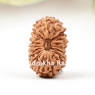 Twenty Mukhi from Java Indonesia - Small
